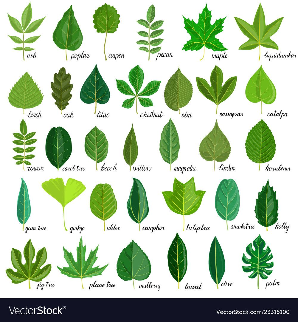 Set tree leaves vector image on VectorStock