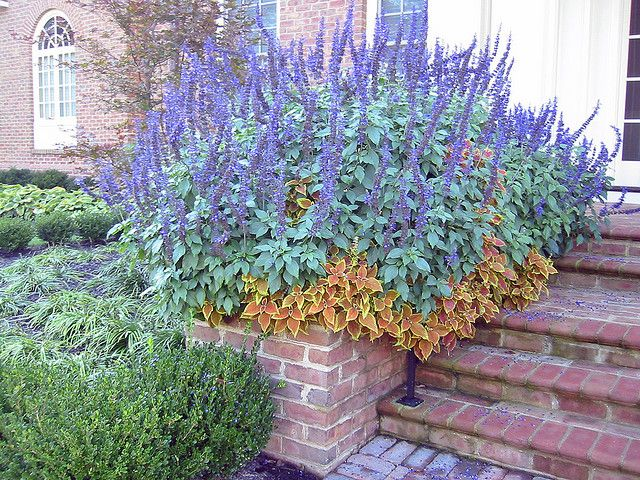 Salvia and Coleus in Built-in Planter.