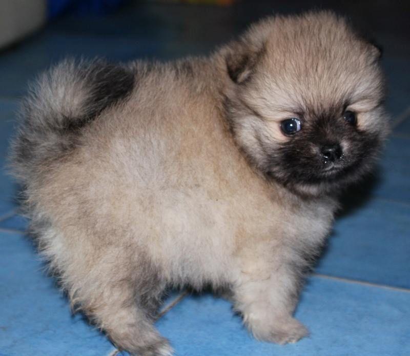 Male Vs Female Parker S Precious Pomeranians Pomeranian New Puppy Puppies