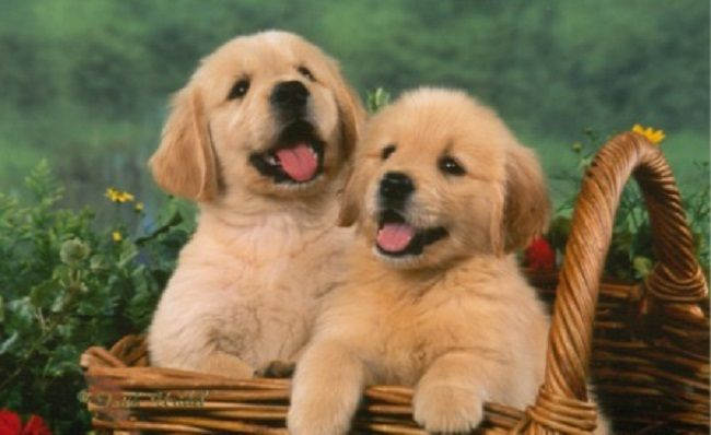 Golden Retriever Puppies For Sale In Indiana Zoe Fans Blog