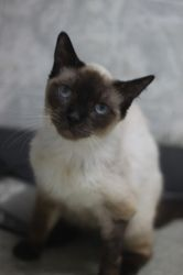 Adopt Whiskas On Siamese Cats Cats Tonkinese