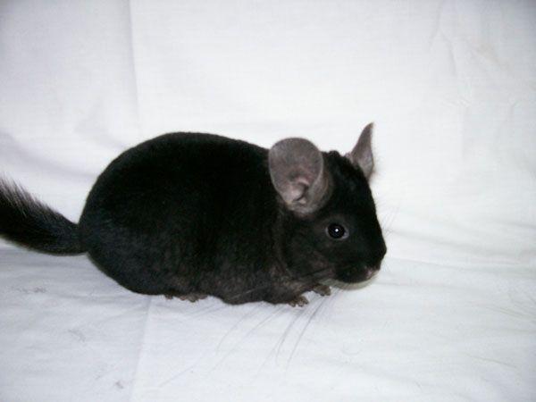 Pin By Delana Wells On Animals Cute Animals Animals Chinchilla