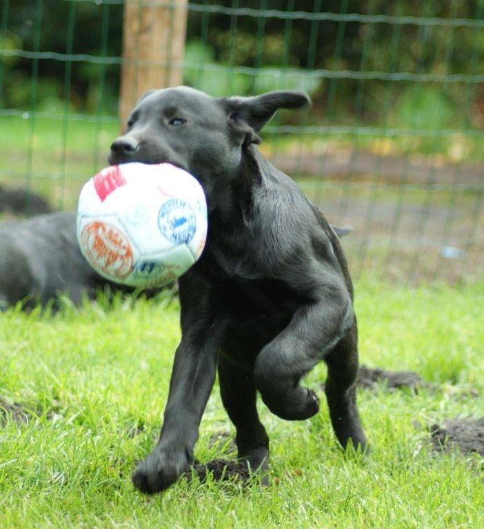 kleiner schwarzer Teufel Hunde, Welpen und Familienhund