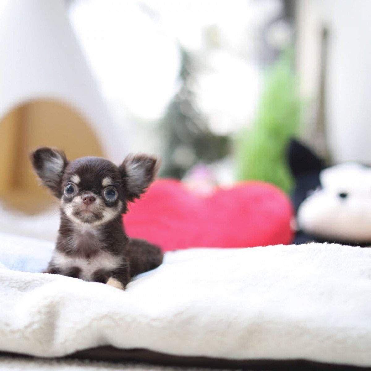 I Just Love Chihuahuas Chihuahua Puppies