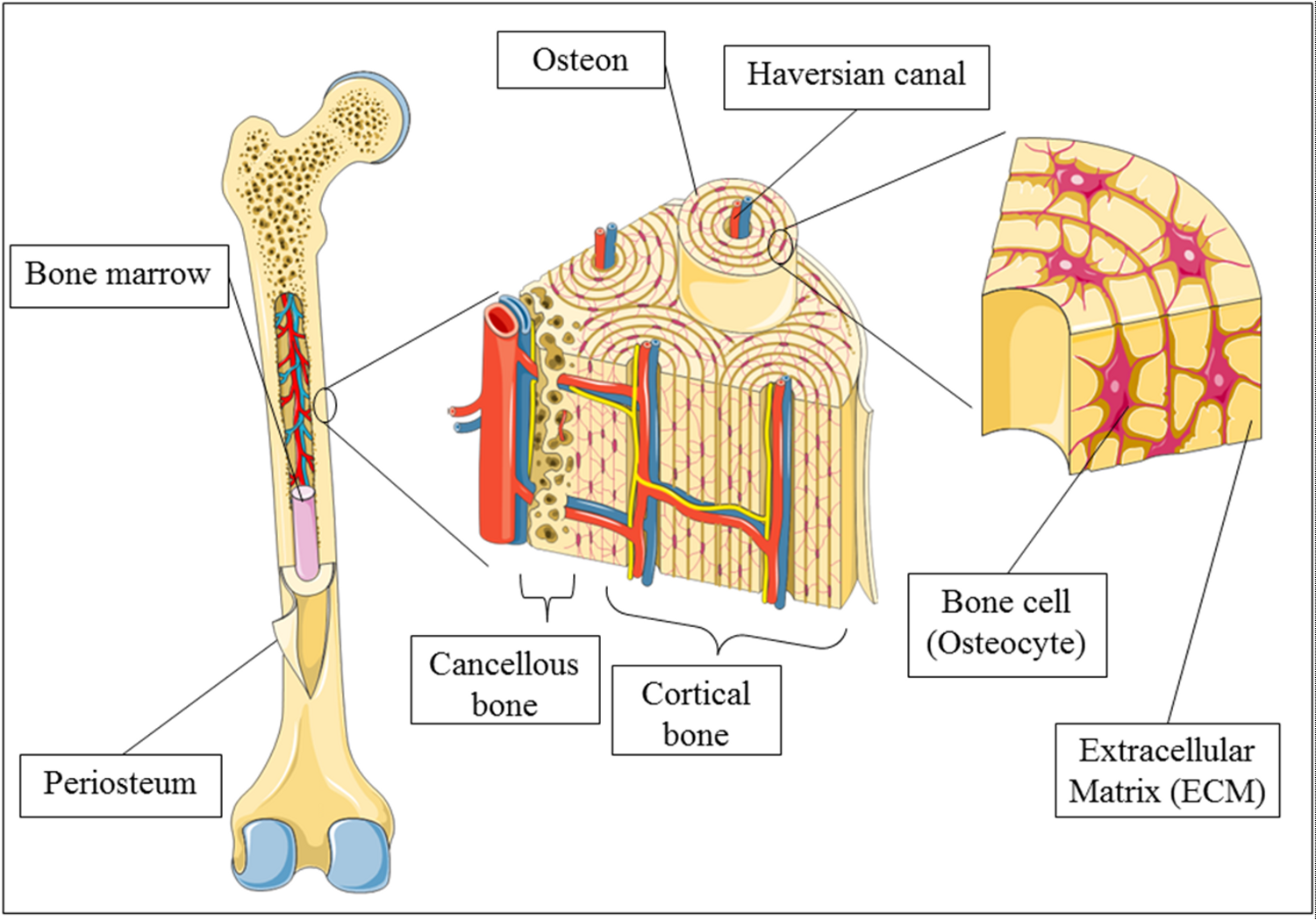 skeletal tissue Blood vessels and nerve fibers are distributed throughout the entirety of skeletal  tissue, and play important roles during bone development and fracture healing.