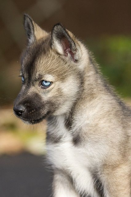 Agouti Husky Puppy With Images Dogs Puppies Cute Animals