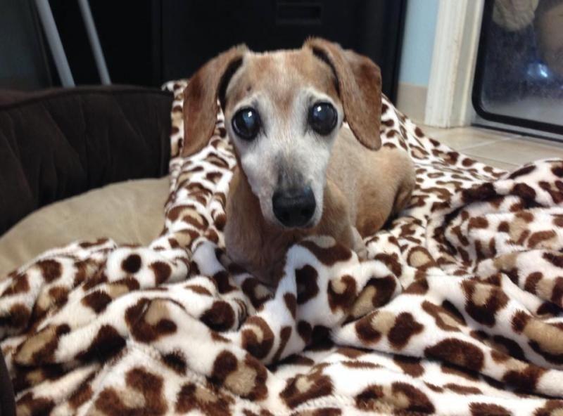 Meet Pebbles An Adoptable Dachshund Dog Sarasota Fl Pebbles