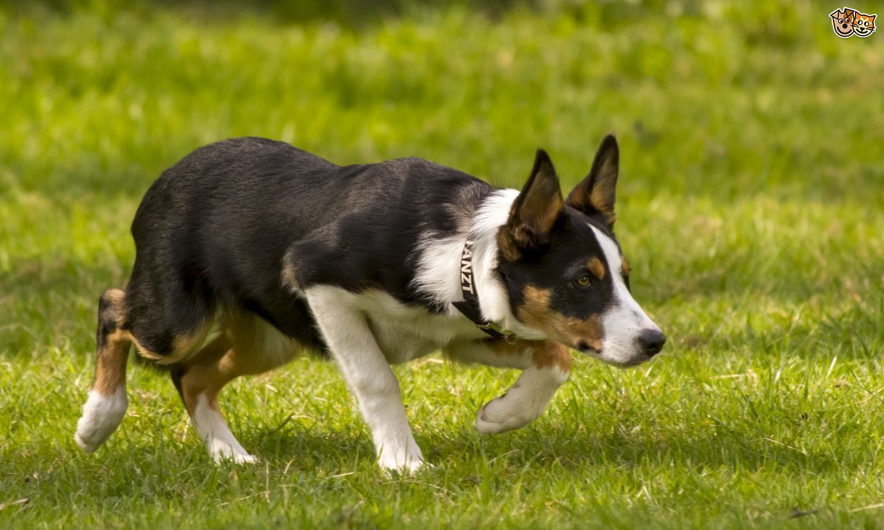 Read Indepth Welsh Collie Dog Breed Facts Including Popularity