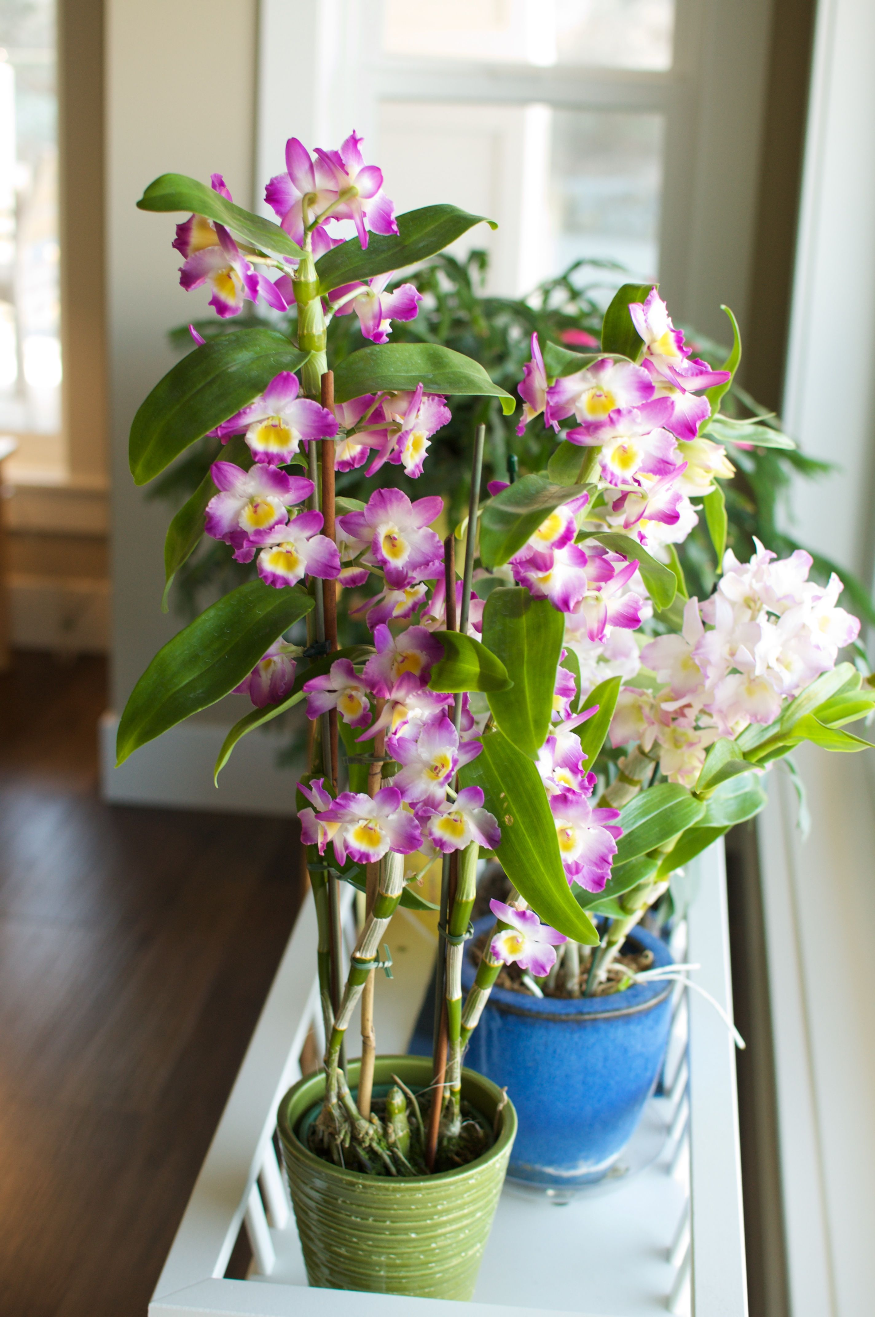 Dendrobium Nobile 2 Of My Plants In Bloom Both Have Great Lilac Scent Easy To Bloom If Fertilizing Is Stopped Dendrobium Nobile Plants Types Of Orchids