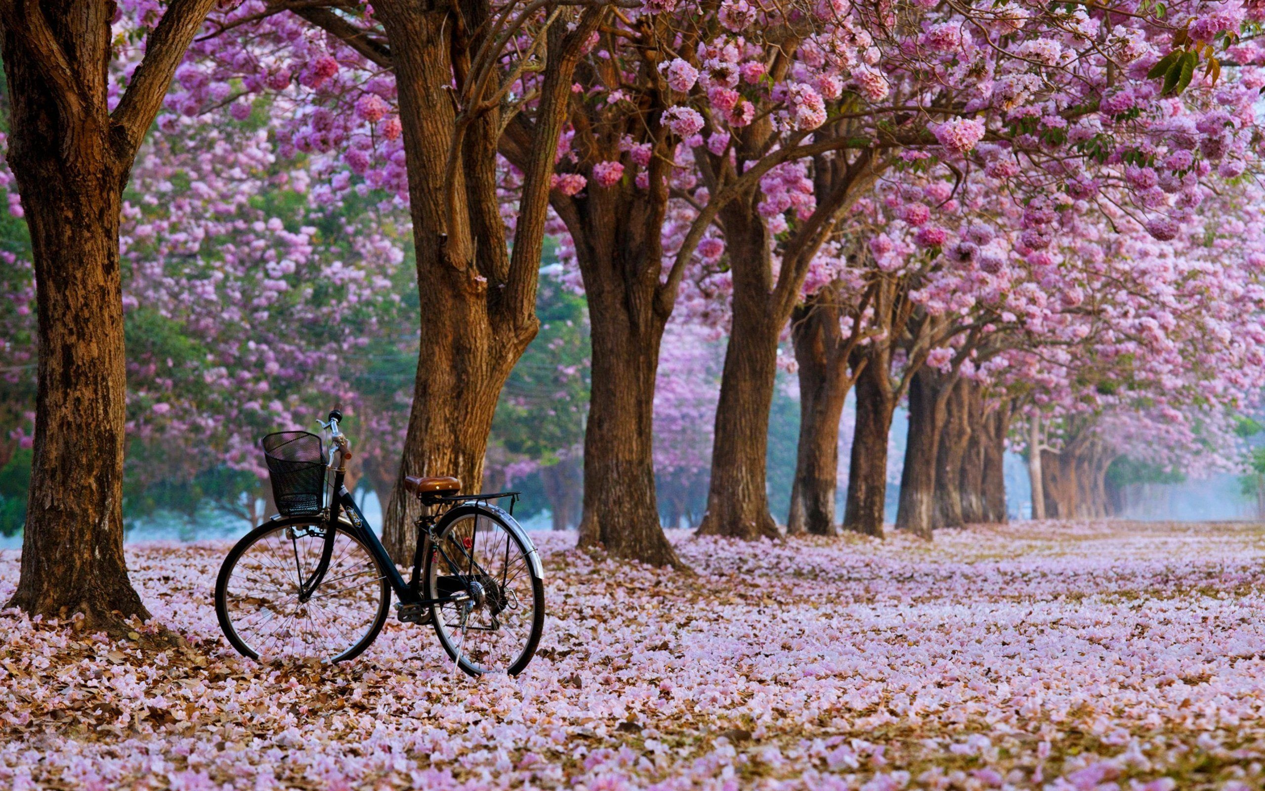 Cherry Blossom Tree Wallpapers Widescreen For Desktop X Px