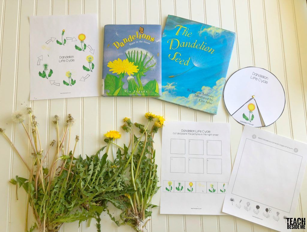 Dandelion Life Cycle Learning