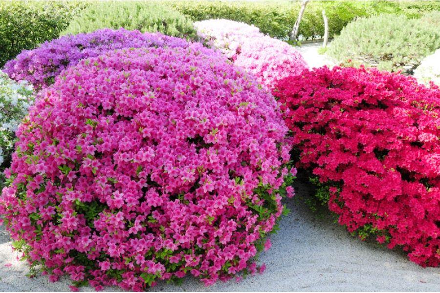 Похожее изображение Azaleas garden, Garden shrubs