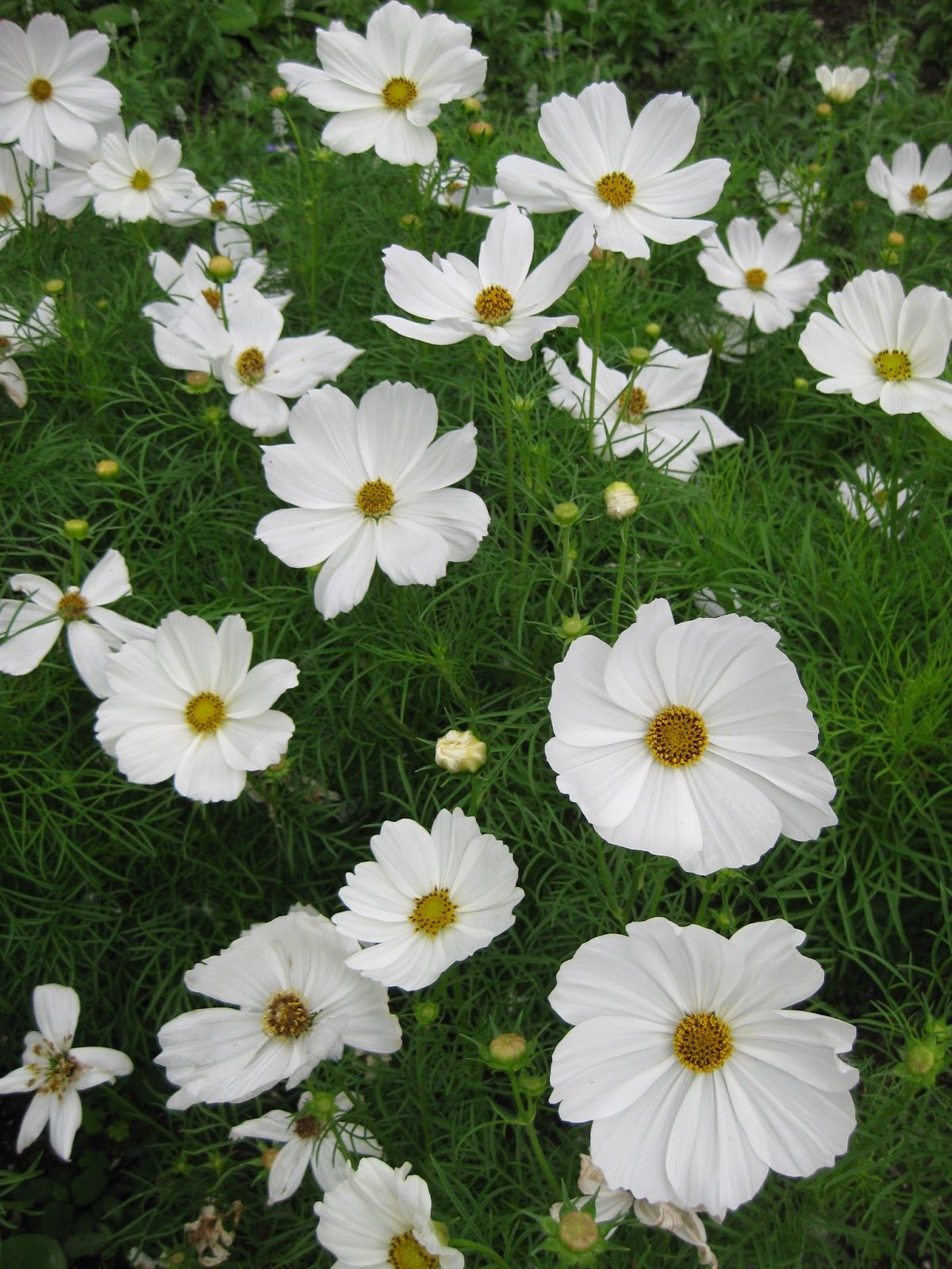 White cosmos are another great option for a white annual these white cosmos are another great option for a white annual these bloom all summer as long as someone dead heads them and have a large bloom for its size izmirmasajfo