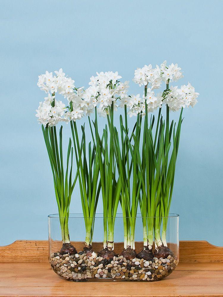 Paperwhite Ziva Kit With Windowsill Vase Indoor Flowers Winter Flowers Garden Indoor Garden