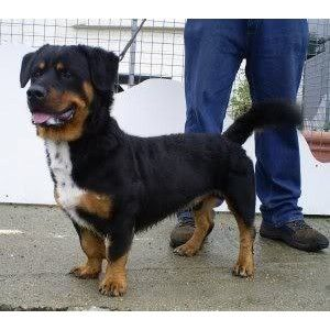 Haha...rottweiler basset hound mix - Polyvore | Animals ...