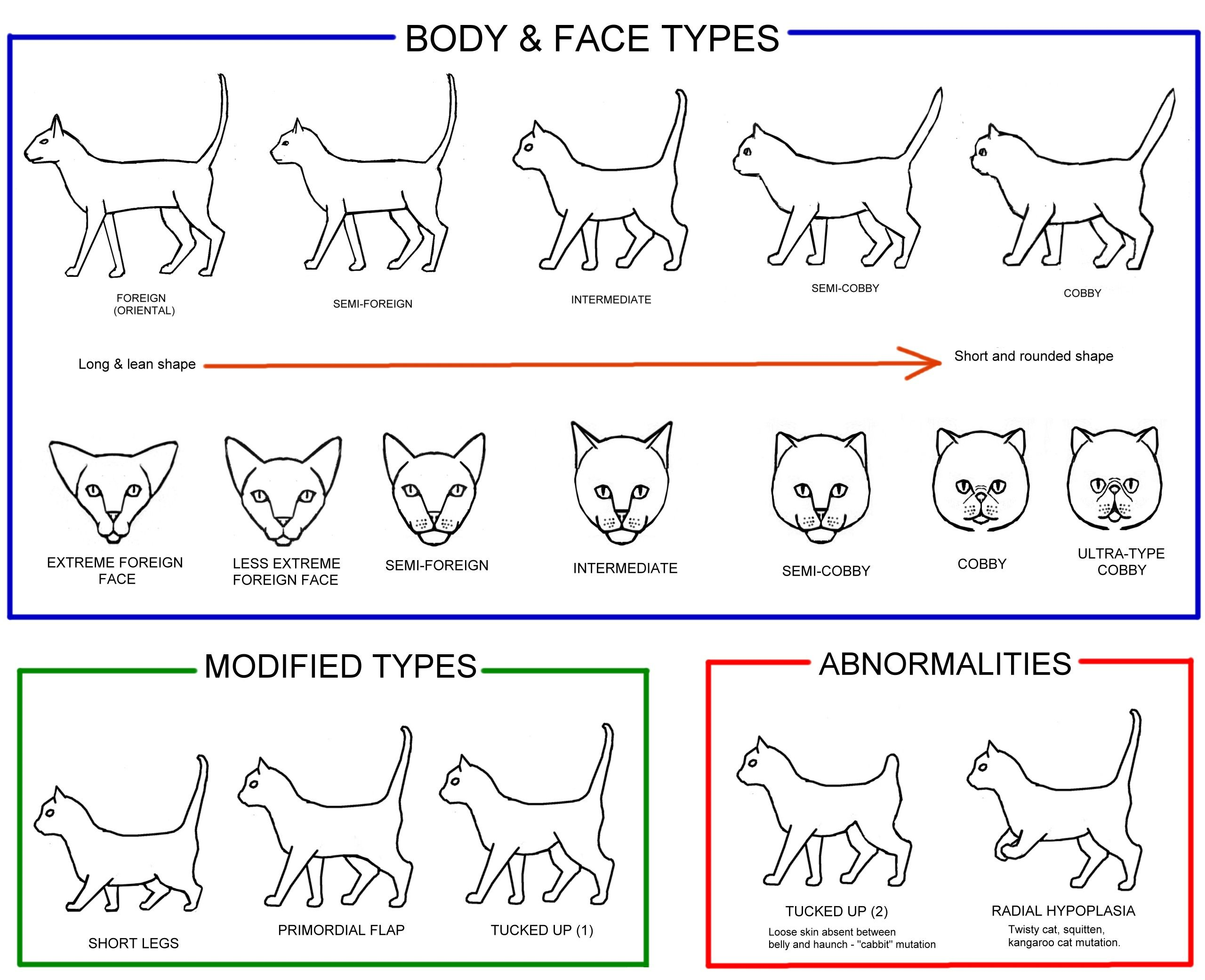 Plain English Guide To Conformation Cat Body Siamese Cats Facts Cat Weight Chart