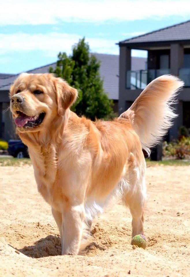 Handsome Golden Boy Golden Retriever