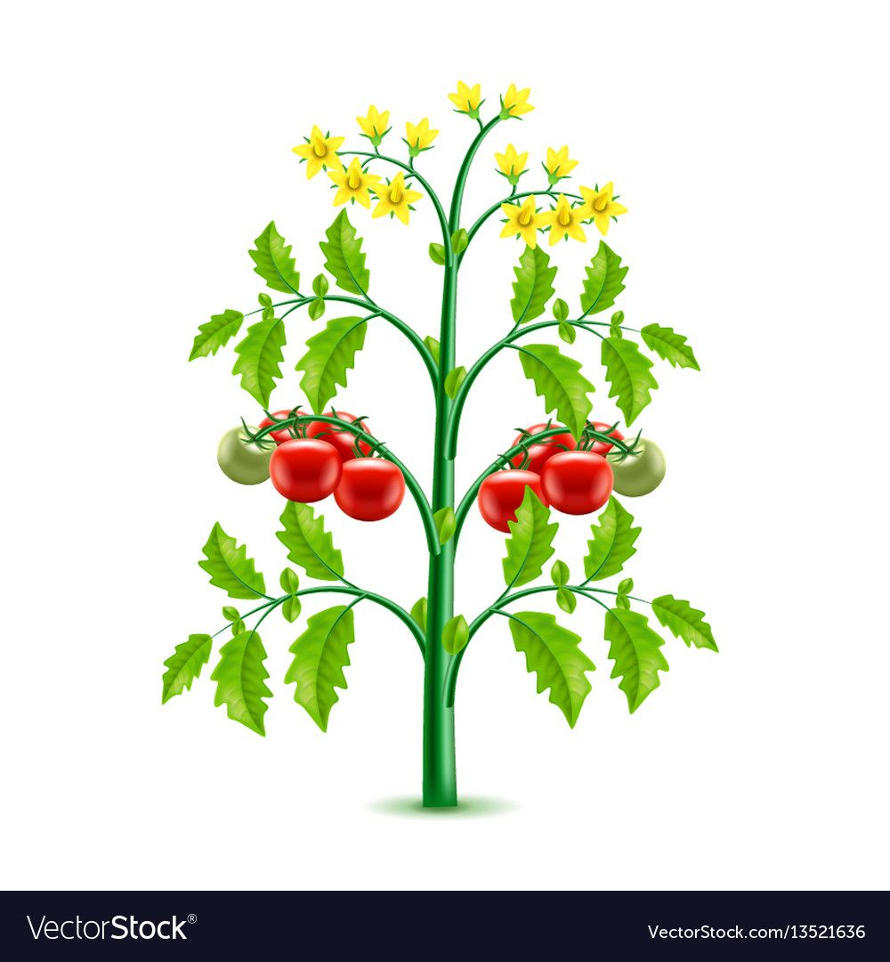 Growing Tomato Plant Isolated Photo Realistic Vector Illustration Download A Free Preview Or High Quality Adobe Ill Growing Tomato Plants Plants Tomato Plants