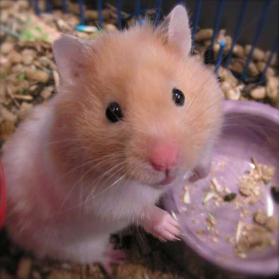 how-to-handle-a-hamster http://health-individual.com/about-hamsters