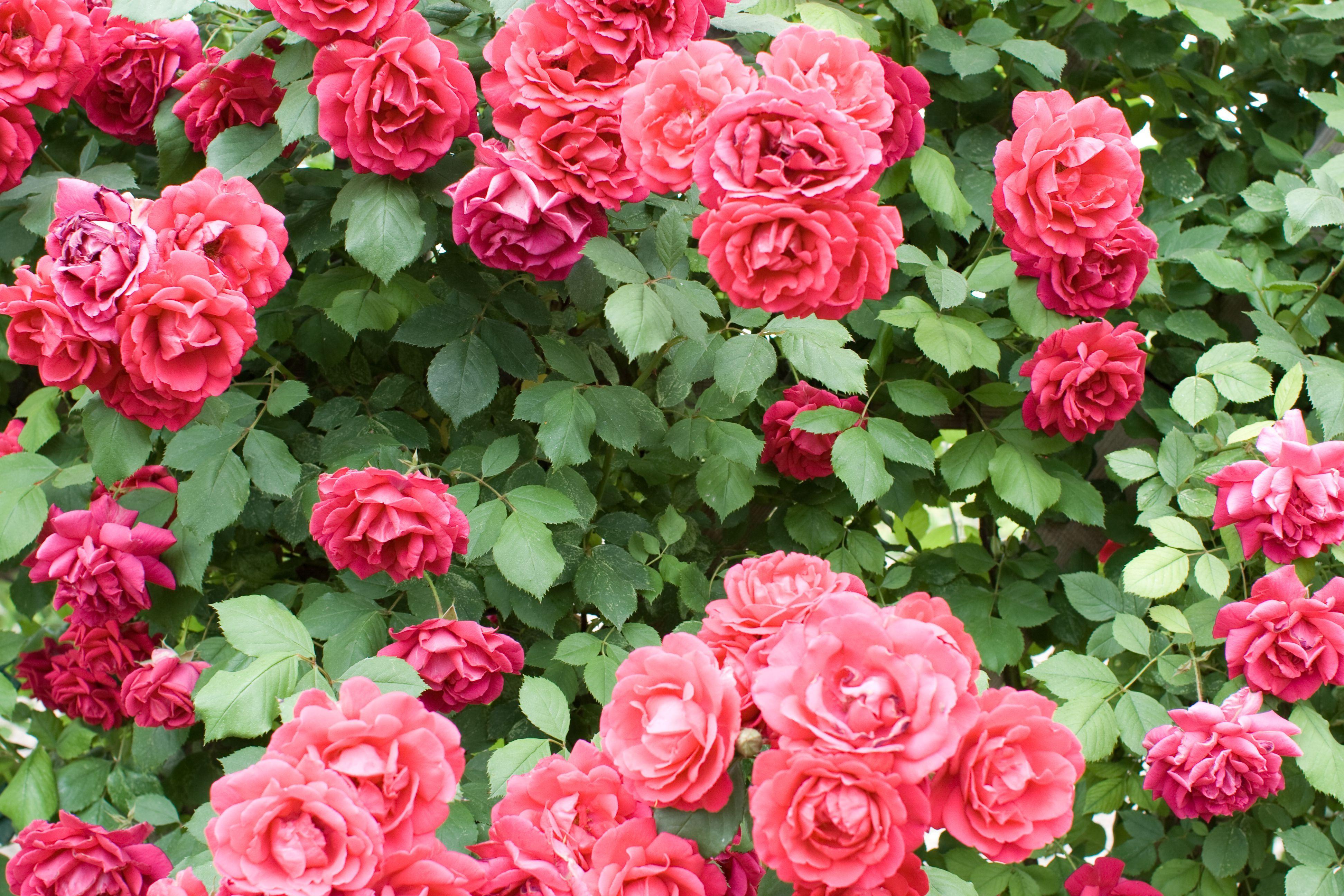 Rosen düngen. Eine leichte Einführung für die Fans der Königin der Blumen