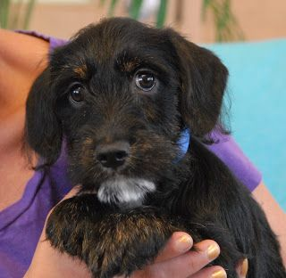 We Are Cocker Spaniel Scottish Terrier Mix Puppies Now Ready For