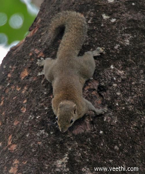 Hoary Bellied Squirrel at Buxa National park