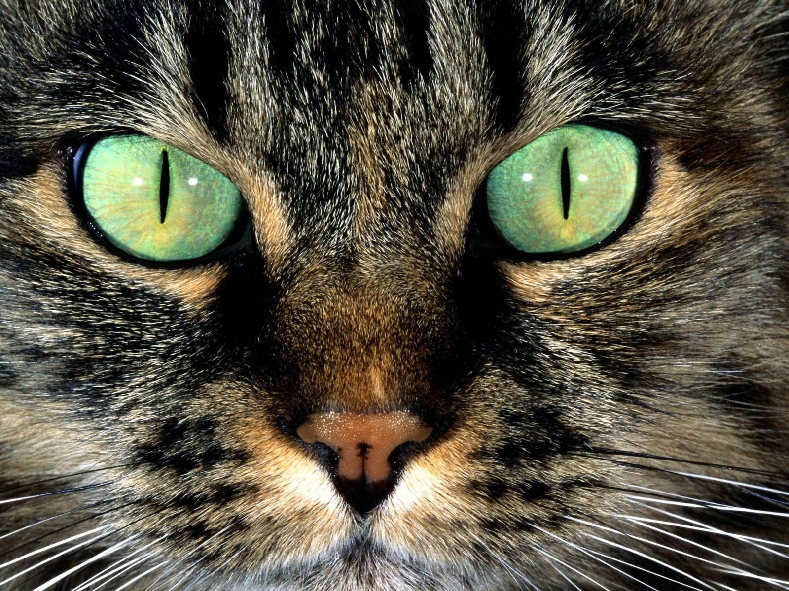 Green Eyes Animal Desktop Wallpapers With Cat Green Animal