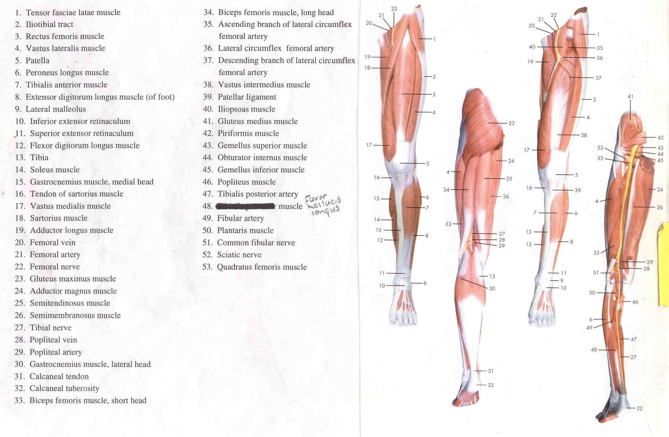 human leg muscles diagram | education | pinterest | human leg
