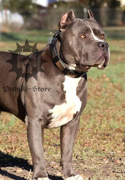 Pitbull Wide Dog Leather Collar With Massive Nickel Plates