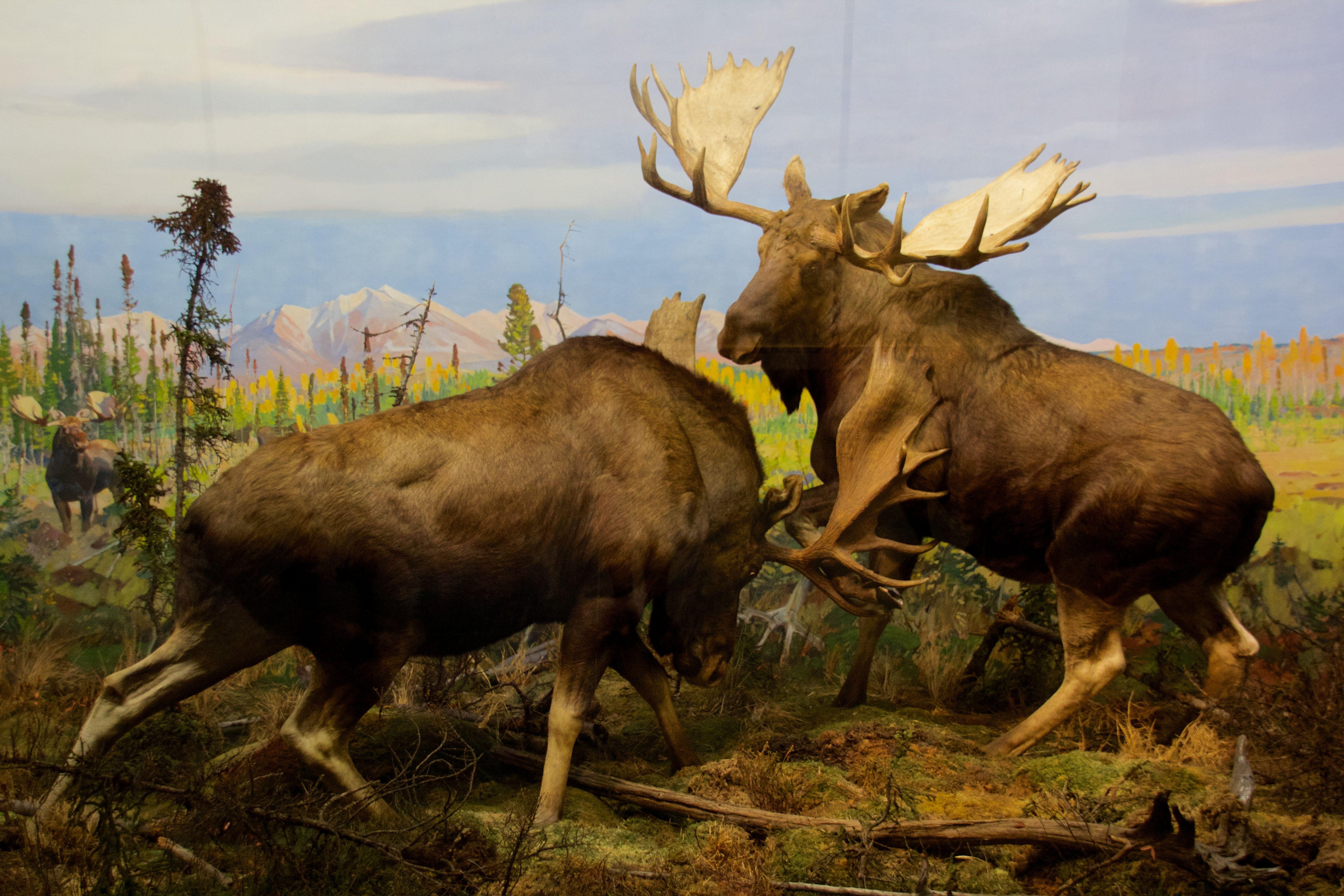 Alaska_Moose_at_the_American_Museum_of_Natural_History.jpg (5184×3456)