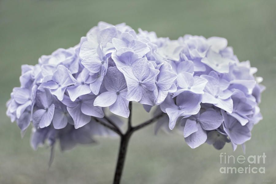 Hydrangea Flowers For Sale Hydrangea Flower Bouquet Photograph Lavender Hydrangea Flower Hydrangeas Art Hydrangea Flower Hydrangea