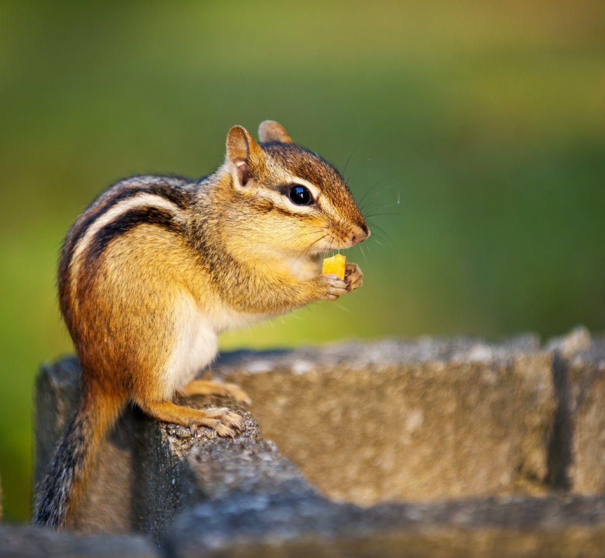 Best trap for chipmunkshow to get rid of chipmunks under