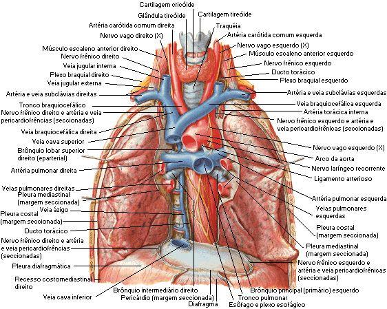 Coracao Aula De Anatomia Anatomia Sistema Cardiovascular