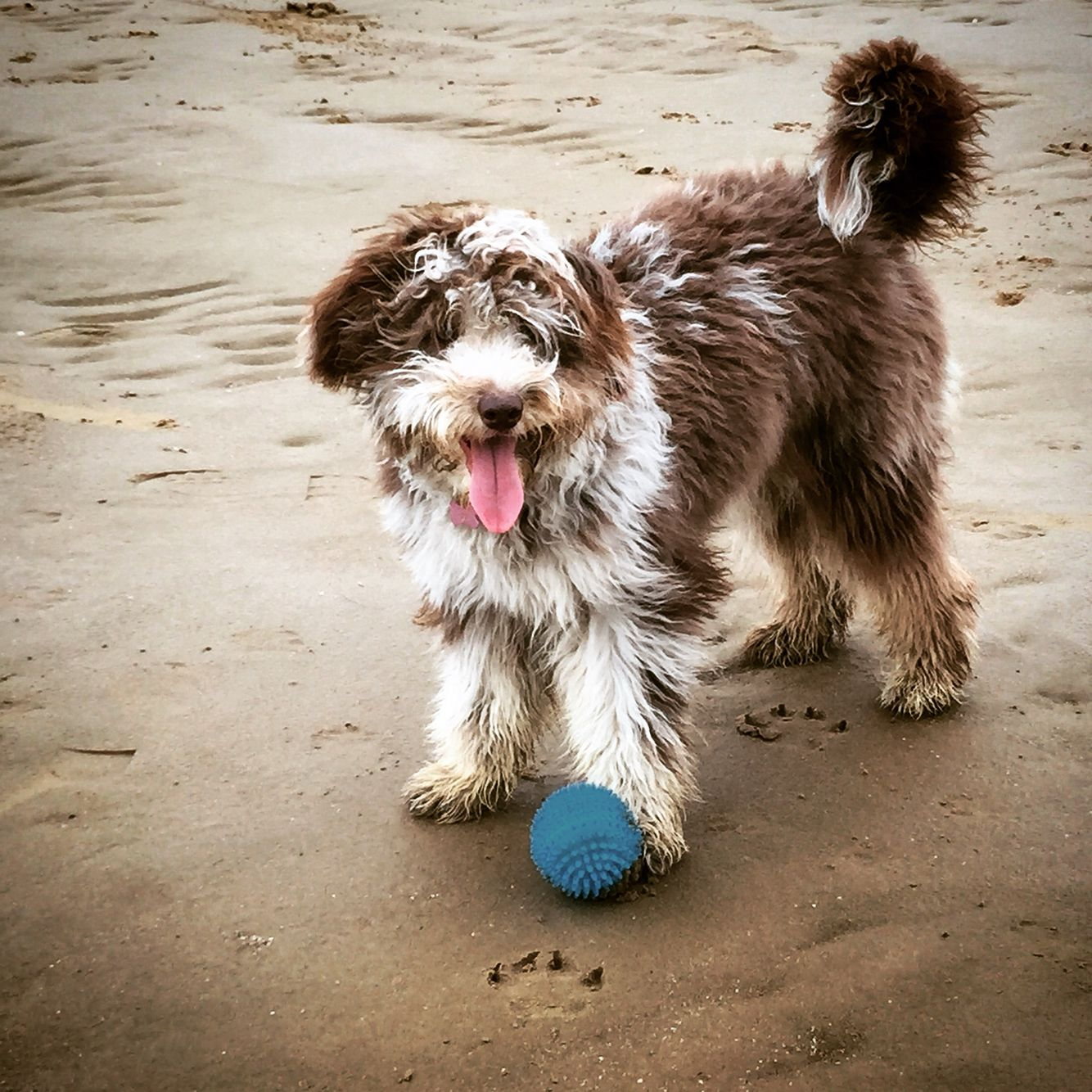 Jessie The Colliedoodle Bordoodle Puppy Proofing Collie Mix