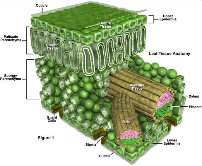 leave cross section   botanical   Plant science, Leaf