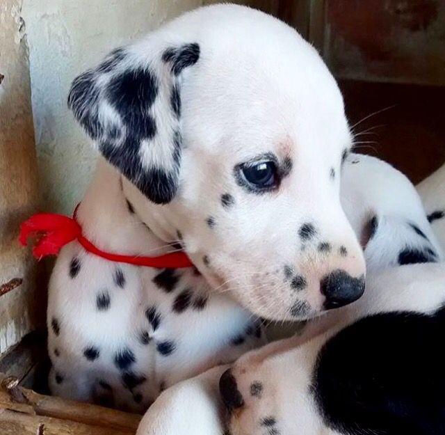 Popular Dalmation Chubby Adorable Dog - 9e3a663fcca6a374694eb0382750e31a  Collection_916070  .jpg