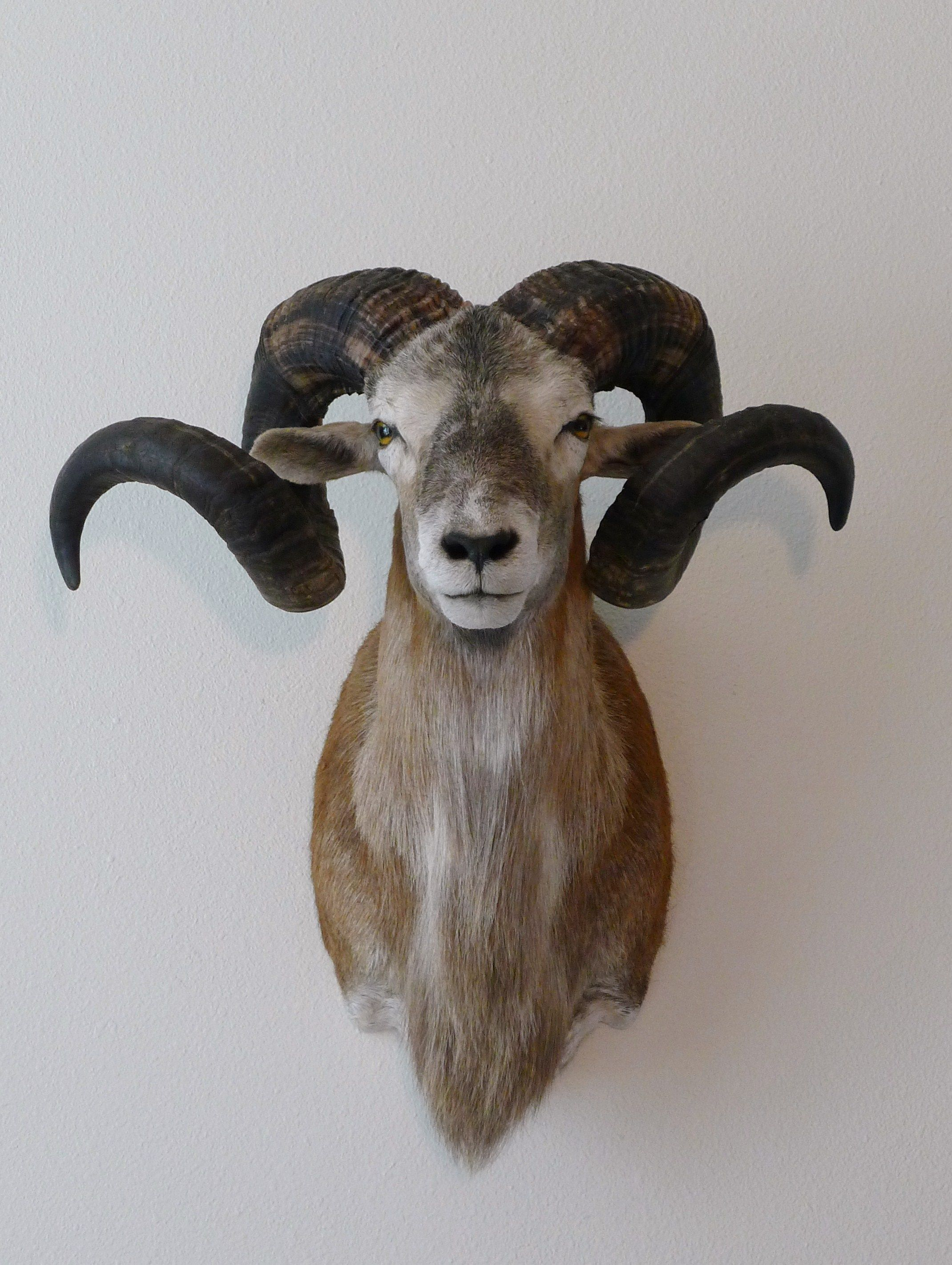 Images Of Ram Animals Displaying 20 Images For Ram Animal