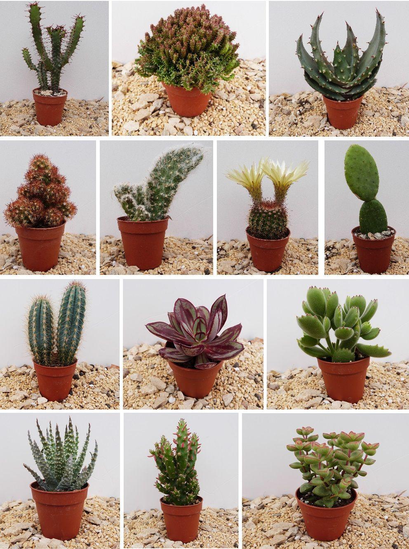 Kaktusy Domowe Kaktus Sukulent 9szt W Don 5 5cm 4835643282 Oficjalne Archiwum Allegro Succulents Plants Cactus Flower