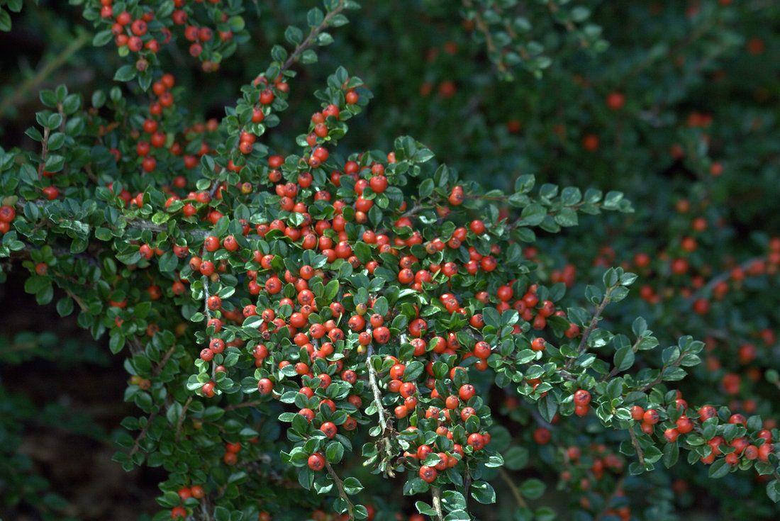 Pianta Ornamentale Con Bacche Rosse il cotoneaster è una pianta ricadente. fiorisce dalla