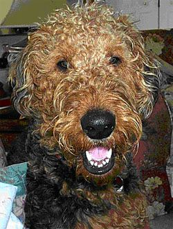 airedales dogs - Google Search