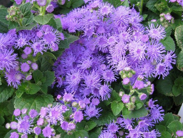 How To Grow Ageratum Floss Flower Plants Pollinator Garden Flowers