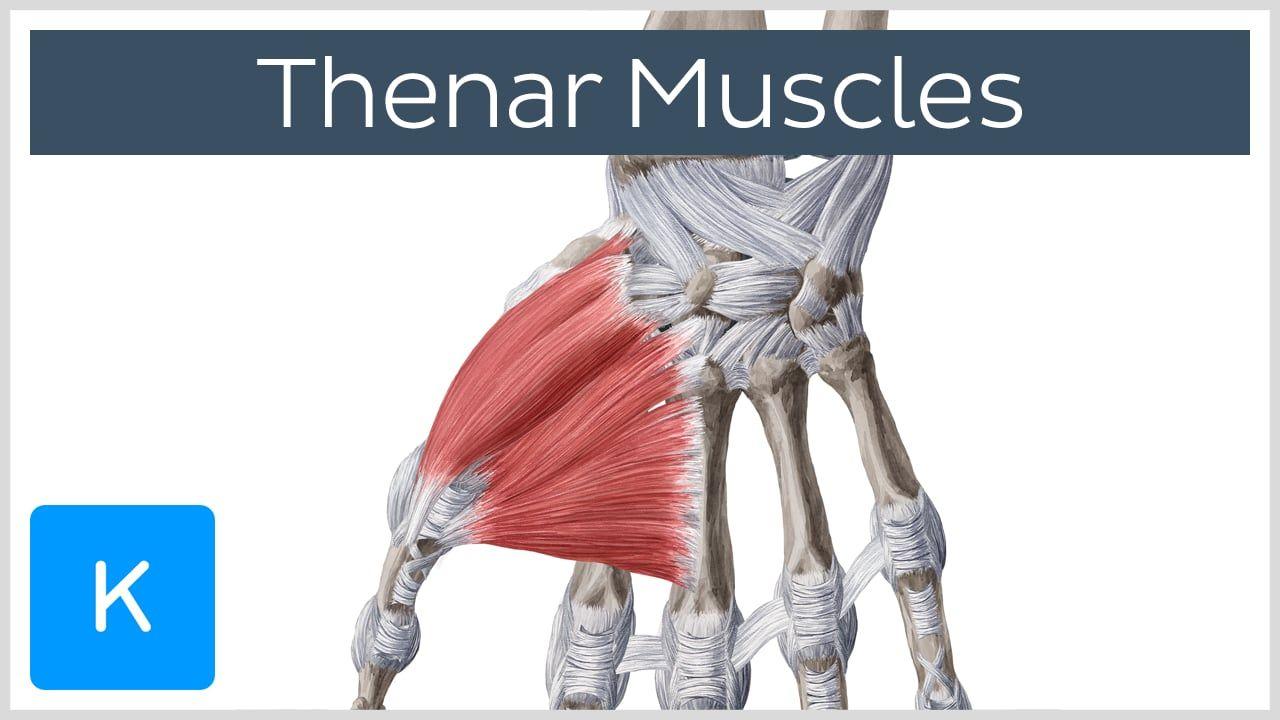 Thenar muscles | Pinterest
