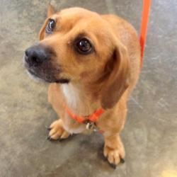Adopt Sadie Vi Paws In Prison On Dachshund Mix Chihuahua Dogs