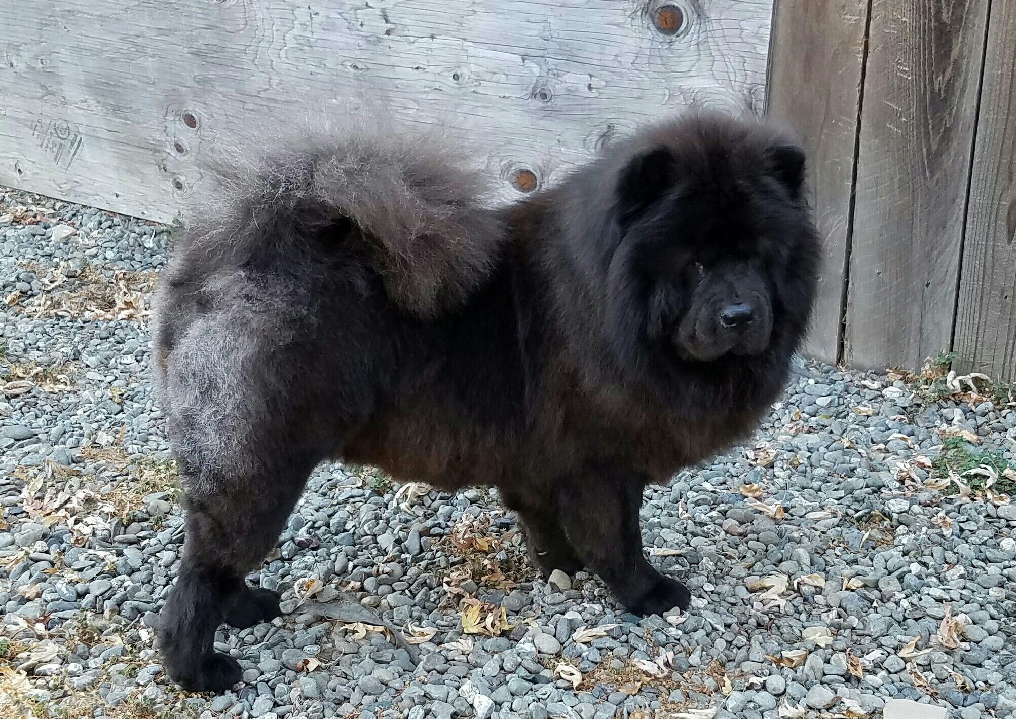 Layla 7 Years Chow Chow Dogs Cute Animals Dogs