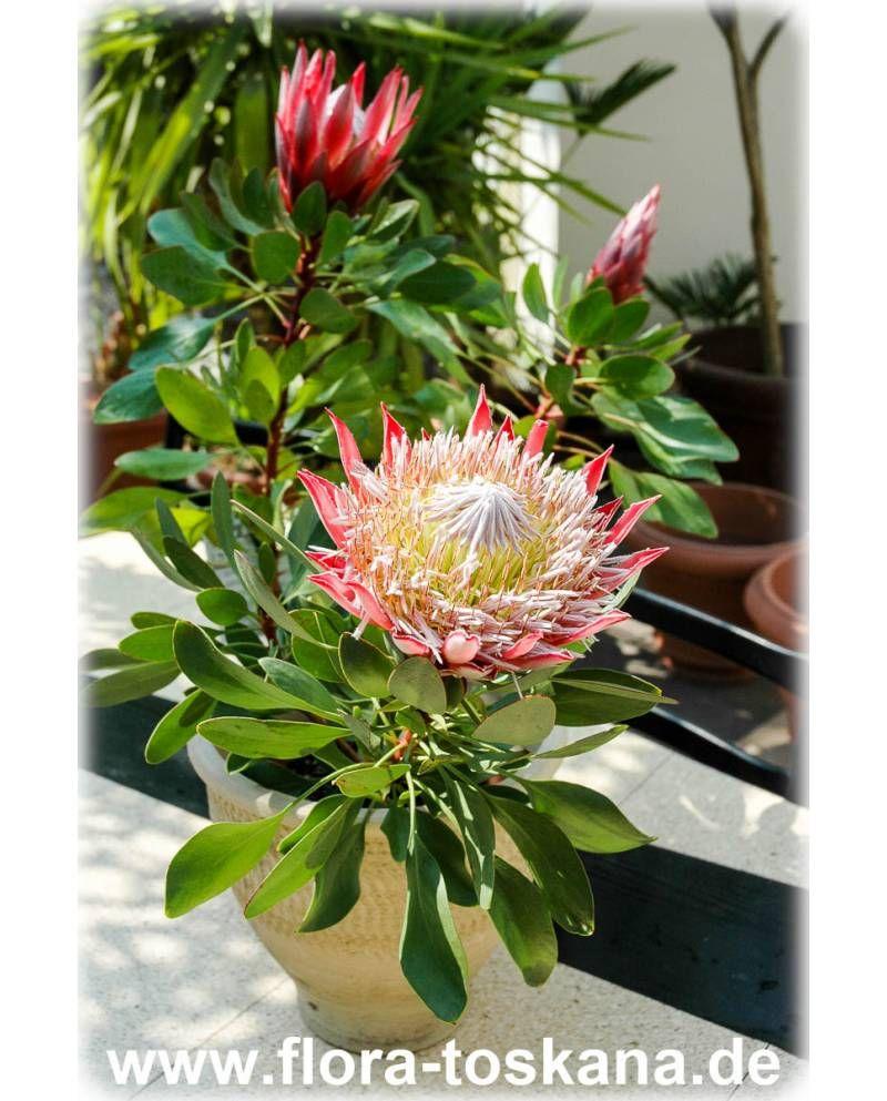 Protea Cynaroides King Protea Giant Protea Protea Flower Protea Plant Protea
