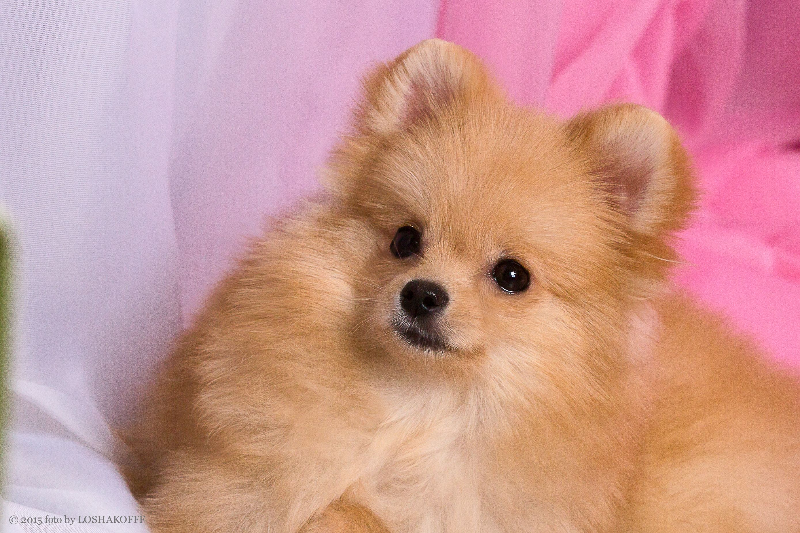 Sale Of Puppies Of A Pomeranian Spitz Dog The Bred Boy Of A