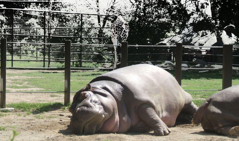 Nap Time At The Calgary Zoo D Zoo Zoo 2 Hippo