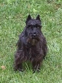 Adopt Felix On Adoption Schnauzer Dogs Dogs
