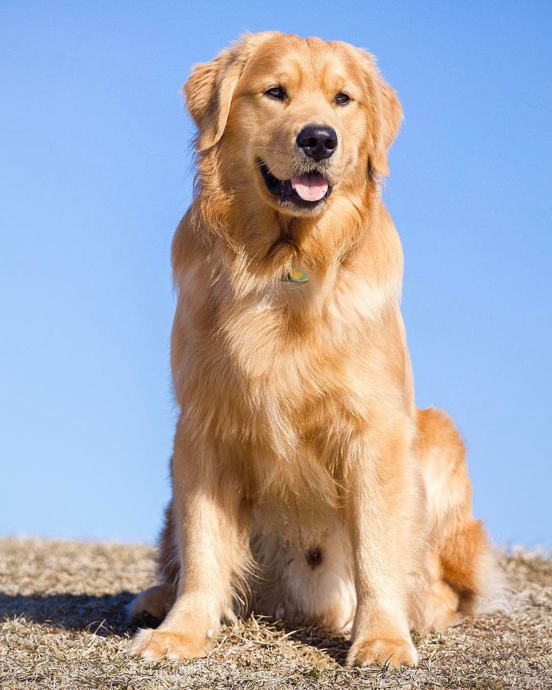 Jaxson Golden retriever funny, Dogs golden retriever