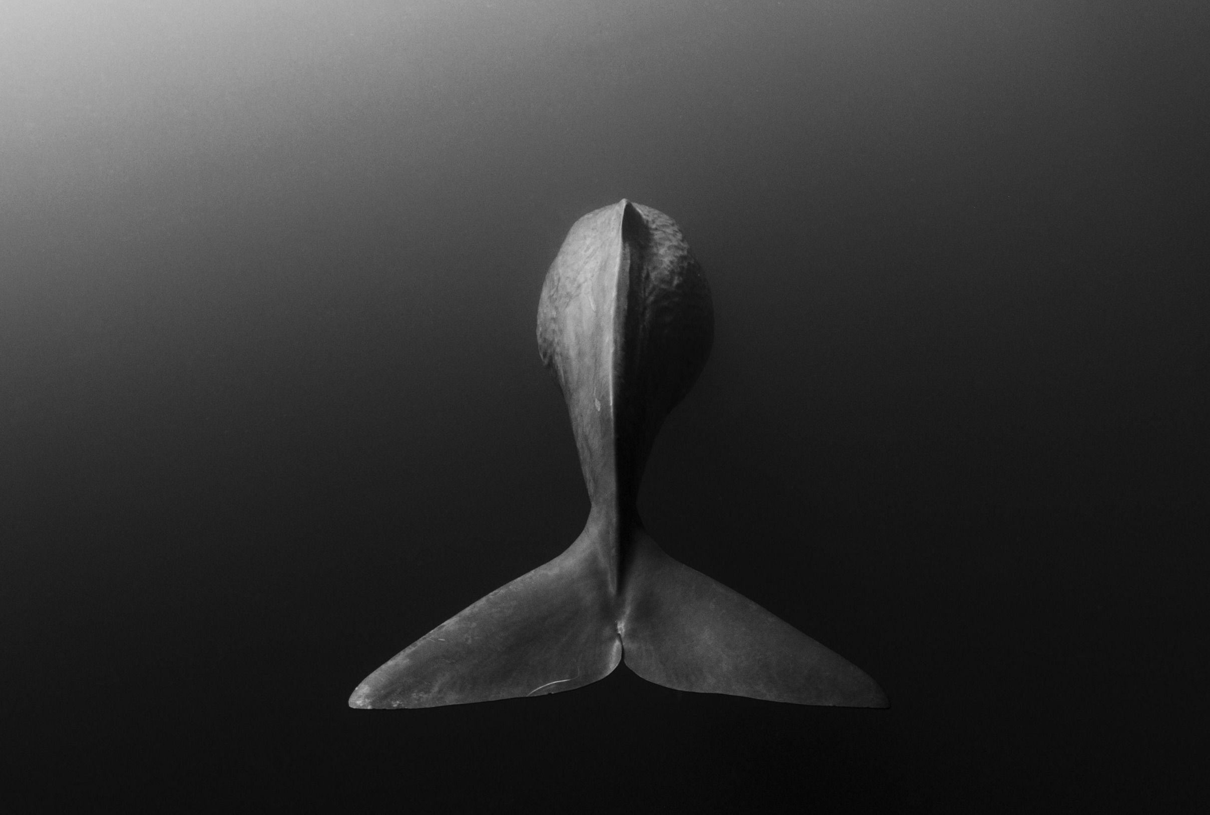 Goodbye Shane Gross For The National Geographic Photo Contest - Amazing black white underwater photography
